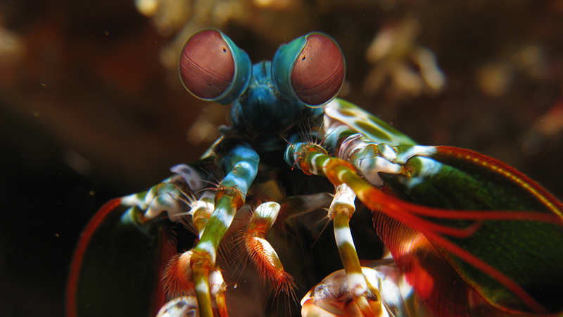 Mantis Shrimp - Inspires Creation for Next Generation of Ultra-Strong Materials